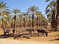 PikiWiki Israel 29332 Date palm trees in Kibbutz Eilot.JPG
