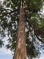 Pinales - Cryptomeria japonica - 2.jpg