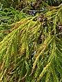 Pinales - Cryptomeria japonica - 8.jpg