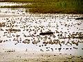 Pinckney Island National Wildlife Refuge (5958492756).jpg