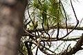 Pine warbler (40720849895).jpg