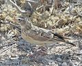 Pink-billed Lark (Spizocorys conirostris) (8077320401) (cropped).jpg