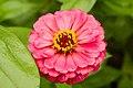 Pink Zinnia (38787582).jpeg