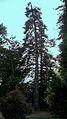 Pinsap del Sors Seva 20070425 CIC 0651.JPG