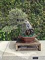 Pinus Thunbergii - Pino negro japonés.JPG