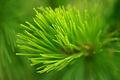 Pinus kesiya 01.JPG