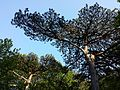 Pinus nigra (subsp. nigra) sl4.jpg