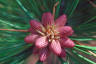 Conifer cone - Immature male or pollen cones of Rocky Mountain ponderosa pine (Pinus ponderosa var. scopulorum)