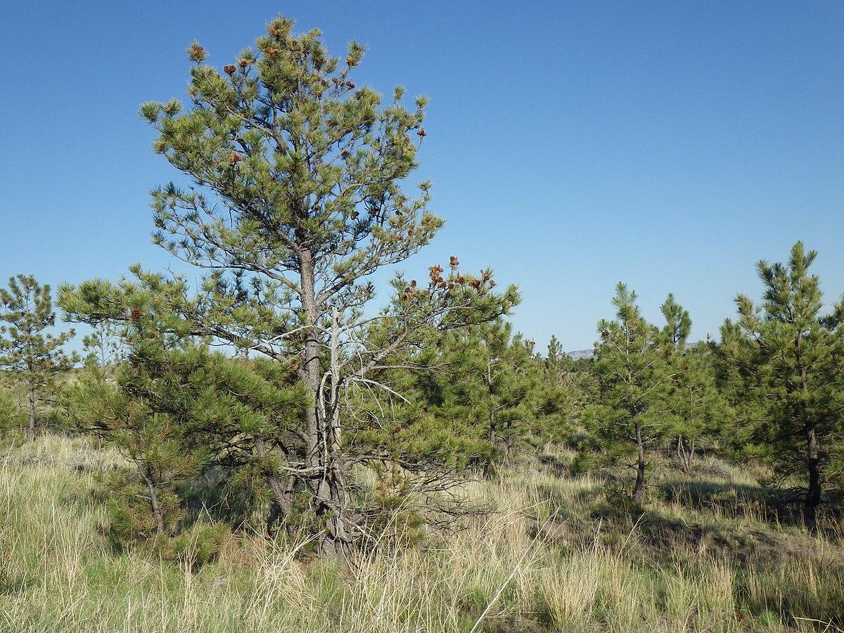 pinus ponderosa subsp  scopulorum