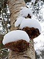 Piptoporus betulinus (8399946996).jpg