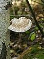 Piptoporus betulinus (fruiting body).jpg