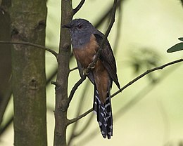 Plaintive Cuckoo (Cacomantis merulinus) - Flickr - Lip Kee (1).jpg