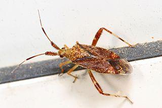 <i>Neurocolpus nubilus</i> Species of true bug