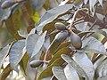 Plant Canarium strictum unripe fruits DSCN0161.jpg