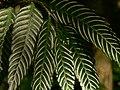 Plant Fern Bird Nest Asplenium P1120347 05.jpg