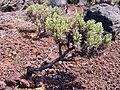 Plantago arborescens La Palma.jpg