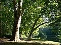 Platany Hlohovec - Plane-trees Hlohovec, Slovakia - panoramio (11).jpg