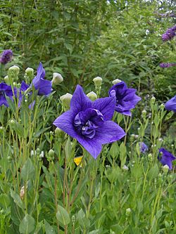 Wikipedia Chinese Bellflower