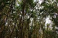 Pleioblastus linearis at the Trail of Mount Omoto 201912.jpg