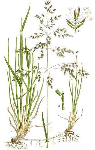 Poa pratensis - Image: Poa pratensis (Billeder af nordens flora 1917ff., v 2 0383) clean, no description