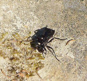 Bộ sưu tập côn trùng 2 - Page 4 300px-Podalonia_affinis_-_Flickr_-_gailhampshire