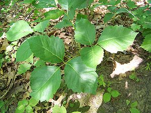 English: Ground level poison ivy in Perrot Sta...