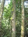 Pokok nangka hutan.JPG