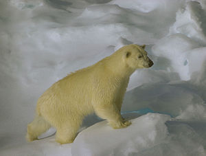 Ursus maritimus on sea ice close to Svalbard