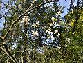 Poncirus trifoliata -sk.JPG