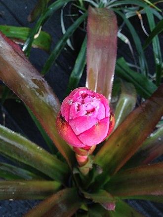 Portea grandiflora - Image: Portea grandiflora flower (top view)