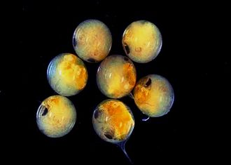 Eggs of Potamon fluviatile, a freshwater crab Potamon fluviatile9.jpg