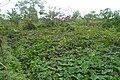 Potato Farm, Mile16, Buea.jpg