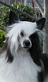 Powderpuff Chinese Crested.jpg