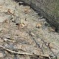 Prague Zoo - Hemitragus jemlahicus 2.jpg