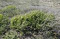 Prasium majus - White hedge-nettle - Çalıbaba 05.jpg