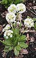 Primula japonica kungälv bergfeltska 02.jpg