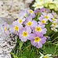 Primula vulgaris 'rubra' (Primevère rouge) - 15.jpg
