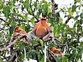 Proboscis Monkey (41254182360).jpg