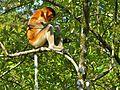 Proboscis Monkey (Nasalis larvatus) female (8444161089).jpg