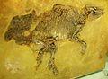 Propalaeotherium hassiacum 1.jpg