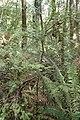 Prumnopitys ferruginea kz9.jpg