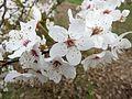 Prunus cerasifera - Mykla - blossom.jpg