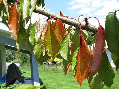 Prunus cerasus sick 04.jpg