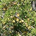 Prunus fasciculata 3.jpg