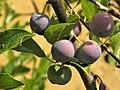 Prunus insititia. Nisal.jpg