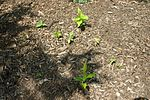 Prunus serotina seedlings 8601.JPG