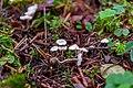 Pseudobaeospora calcarea.jpg