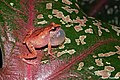 Pseudophilautus wynaadensis (36805142294).jpg
