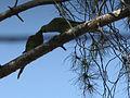 Psittacula krameri-Birds feeding-Jerusalem.jpg