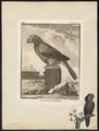 Psittacus accipitrinus - 1700-1880 - Print - Iconographia Zoologica - Special Collections University of Amsterdam - UBA01 IZ18600095.tif